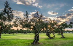 Дерево Olivie стоковая фотография