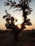 Дерево Palash под заходом солнца Стоковые Фотографии RF