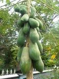 Дерево 2 Paoaya Стоковое фото RF