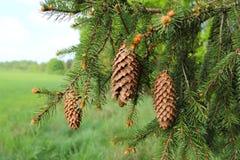 Дерево Picea Спрус с конусами на ветви Стоковые Изображения RF