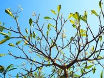 Дерево Plumeria и небо ясности голубое стоковые изображения