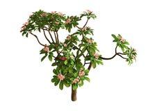 дерево Plumeria перевода 3D на белизне стоковое фото rf