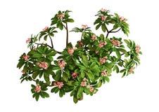 дерево Plumeria перевода 3D на белизне стоковое фото