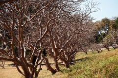 Дерево Plumeria Стоковая Фотография