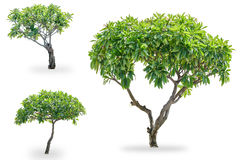 Дерево Plumeria 3 Стоковая Фотография RF