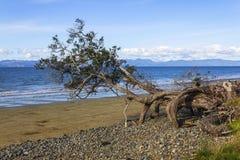 Дерево Pohutukawa на парке Окленде Новой Зеландии пляжа Tapapakanga региональном Стоковые Фотографии RF