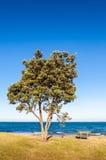 Дерево Pohutukawa (excelsa) Metrosideros, прибрежное вечнозеленое дерево Стоковое Изображение