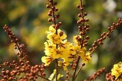 Дерево pterocarpum Peltophorum цветет и отпочковывается взгляд в саде Стоковое фото RF