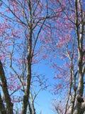Дерево Redbud весной Стоковое Изображение RF