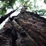 Дерево Redwood стоковое фото rf