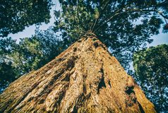 Дерево redwoods секвойи - giganteum секвойядендрона, старый фильтр Стоковые Изображения RF