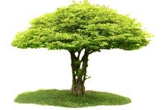 Дерево religiosa Wrightia изолированное на белой предпосылке Стоковое Фото