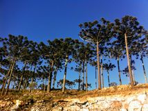 Дерево ria ¡ Araucà Стоковые Фотографии RF