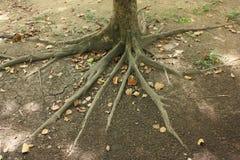 Дерево Rootage Стоковое Изображение RF