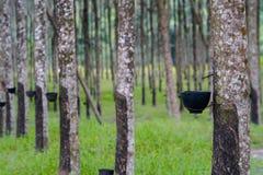 Дерево Ruber Стоковые Изображения