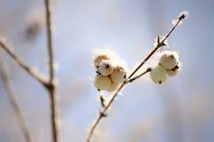 Дерево Snowberry Стоковая Фотография