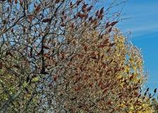 Дерево sumac Staghorn с большими красными цветками в саде на времени осени Стоковое Фото