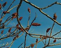 Дерево sumac Staghorn с большими красными цветками в саде на времени осени Стоковая Фотография