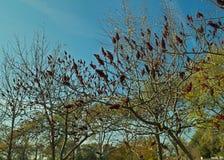 Дерево sumac Staghorn с большими красными цветками в саде на времени осени Стоковая Фотография RF