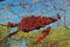 Дерево sumac Staghorn с большим красным цветком в саде на времени осени Стоковые Фото