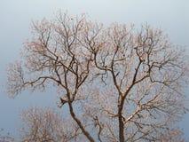 Дерево Tabebuia символическое венесуэльское стоковое фото
