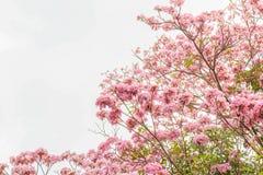Дерево Tabebuia с розовыми цветками на небе в лете с космосом экземпляра Стоковое Изображение RF