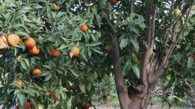 Дерево Tangerine в саде акции видеоматериалы