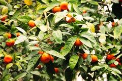Дерево Tangerine с мандарином приносить на ем Стоковое Изображение RF