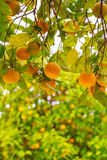 Дерево Tangerine Стоковая Фотография RF