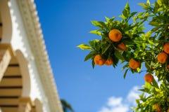 Дерево Tangerine Стоковое Изображение