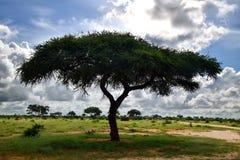 Дерево tortilis Vachellia и неповрежденная природа на африканской саванне Стоковая Фотография RF