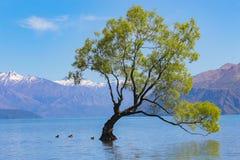 Дерево Wanaka стоковые изображения rf