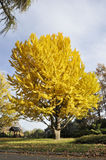 Дерево Yelow в парке Стоковое фото RF