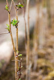 Деревца поленики Молодые кусты поленики Seedlin поленики стоковое фото
