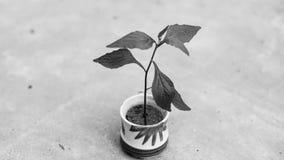 Деревце в чашке с белыми предпосылкой и влиянием B&W Стоковые Изображения RF