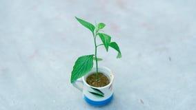 Деревце в чашке с белыми предпосылкой и влиянием B&W Стоковое Фото