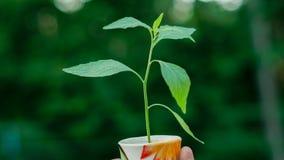 Деревце в чашке с белыми предпосылкой и влиянием B&W Стоковые Изображения