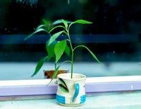 Деревце в чашке с белыми предпосылкой и влиянием B&W Стоковое Изображение RF