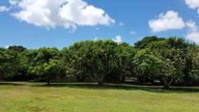 Деревы манго стоковая фотография