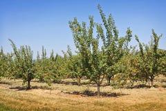 Деревья абрикоса Стоковые Фото