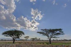 Деревья акации в пастбище куста стоковое фото rf