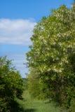 Деревья акаций на луге на весеннем времени стоковые изображения