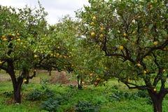 Деревья апельсинов Стоковое Фото