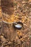 Деревья латекса резиновые в лесе Стоковые Фото