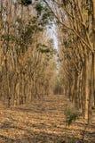 Деревья латекса резиновые в лесе Стоковая Фотография