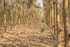 Деревья латекса резиновые в лесе Стоковые Изображения RF