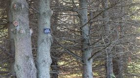 Деревья белого спруса Стоковое фото RF