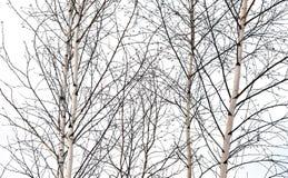 Деревья березы без листьев Стоковое Фото