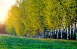 Деревья березы весны Стоковая Фотография RF