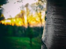 Деревья березы в лесе лета или осени Стоковые Фотографии RF